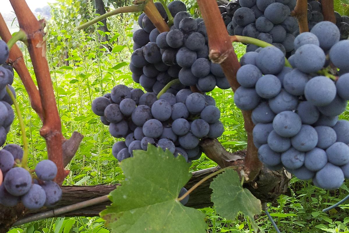 Antiche Cantine: grappolo cesanese di Paliano